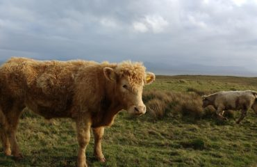Cow in Donegal (V Gravey)