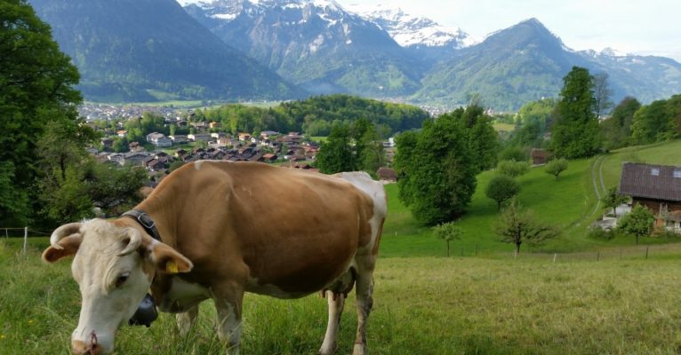 Swiss Cow Grazing